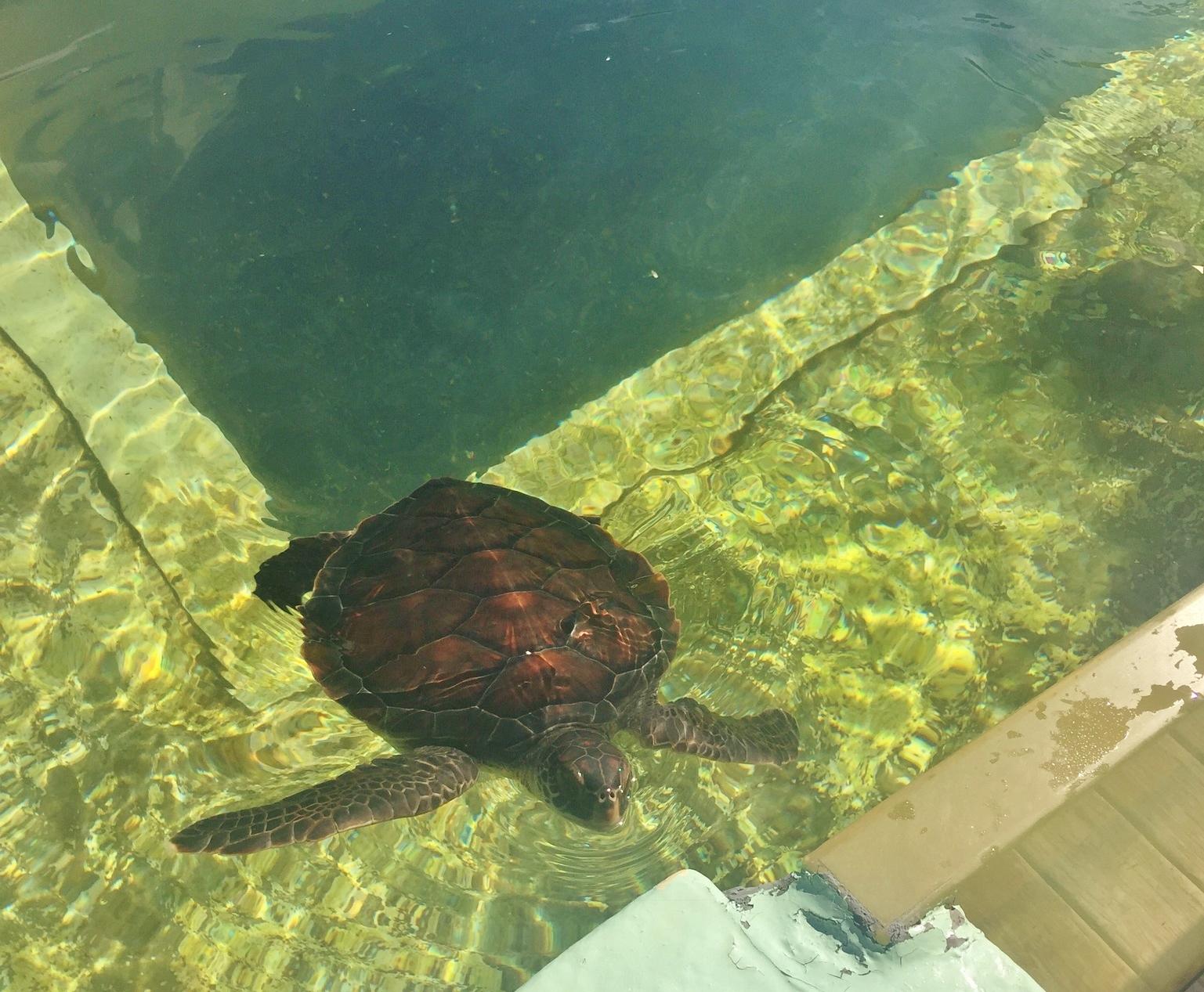 Belle tortue marine à Kélonia