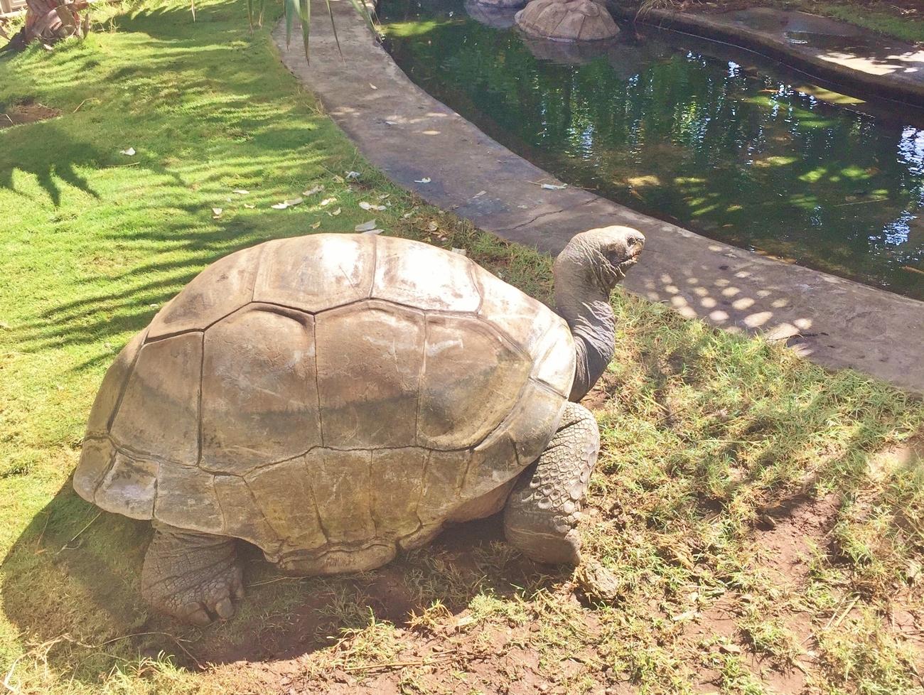 Grosses tortues terrestres à Kélonia à la Réunion